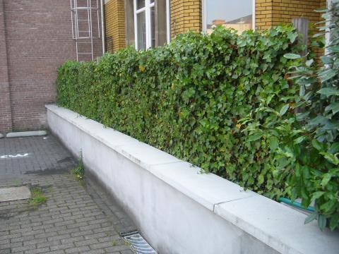 kant en klaarhaag in Gent