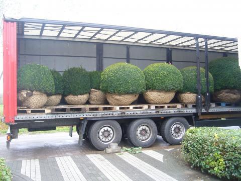 vrachtwagen gevuld met grote buxusbollen