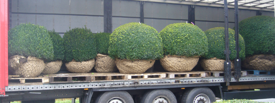 Aanplanting met buxusbollen, klaar om geplant te worden